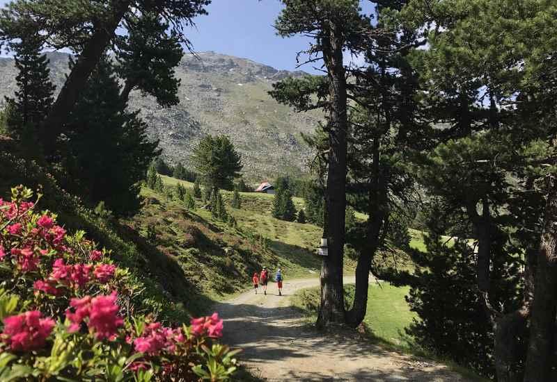 Tuxer Alpen: So schön ist der Zirbenweg in Innsbruck mit der Almrosenblüte